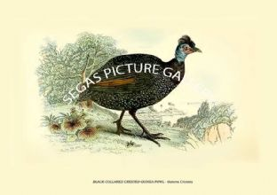 BLACK-COLLARED CRESTED GUINEA-FOWL - Guttera Cristata